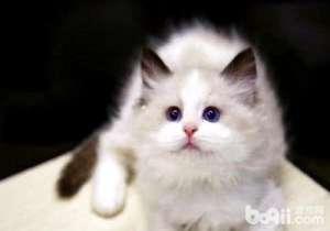 宠物猫品种及价格介绍-猫咪品种